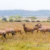 A small herd of topi, Serengeti National Park, Tanzania