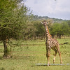 A young giraffe, Serengeti National Park, Tanzania