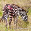 Plains zebra with a severe wound, Serengeti National Park, Tanzania