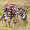 Plains zebra with a severe wound, Serengeti National Park, Tanzania