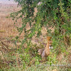 A chilling male African lion und an acacia bush, Serengeti National Park, Tanzania