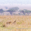 Two servals crossing the plains in high grass, Serengeti National Park, Tanzania