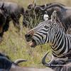 A plains zebra calling, Serengeti National Park, Tanzania