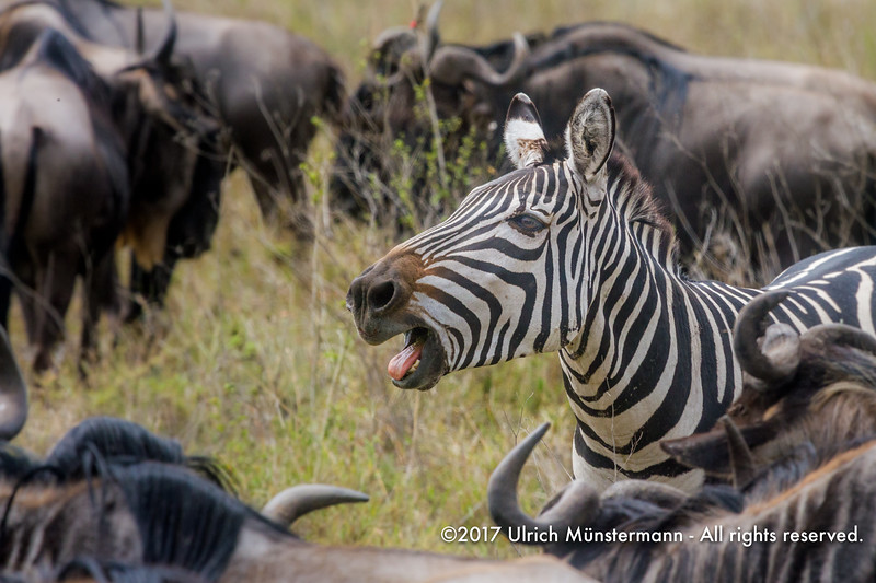 A plains zebra calling, Serengeti National Park, Tanzania