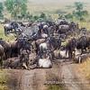 Gnus blocking the road, Serengeti National Park, Tanzania