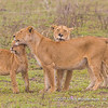 Lionesses' affection, Serengeti National Park, Tanzania