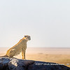 A cheetah in the early morning sun on the watch on a kopje in the Serengeti National Park, Tanzania