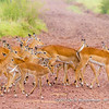 A herd of female common impala crossing the road, Serengeti National Park, Tanzania
