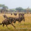 Wildebeest migration, Serengeti National Park, Tanzania