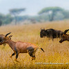 Running topi amongst wildebeest, Serengeti National Park, Tanzania