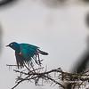 A superb starling taking off, Serengeti National Park, Tanzania