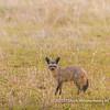 Bat-eared fox, Serengeti National Park, Tanzania