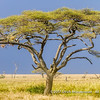Acacia tree in front of rain clouds, Serengeti National Park, Tanzania