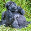 Eastern gorilla (mountain gorilla subspecies)