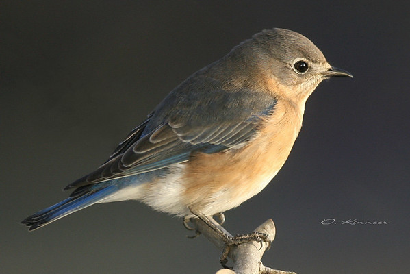 Eastern Bluebird females
