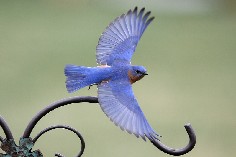 Eastern Bluebird male, in flight