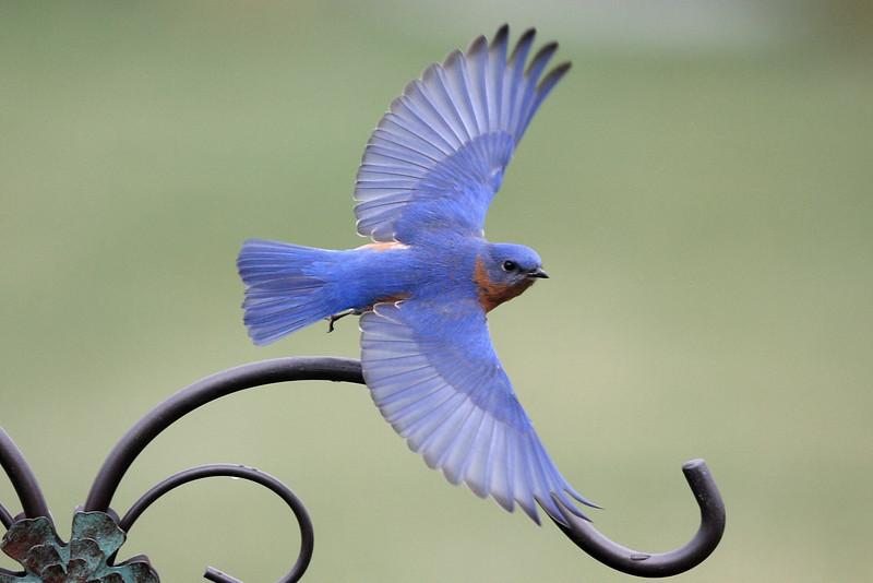 Eastern Bluebird male, in flight
