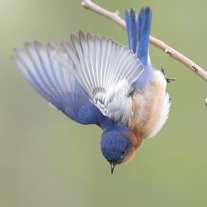 Eastern Bluebird males