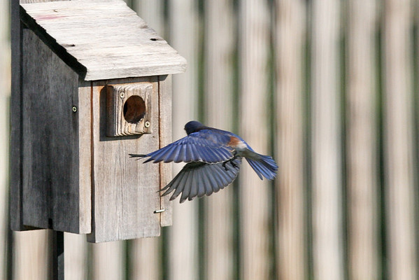 Eastern Bluebirds in flight