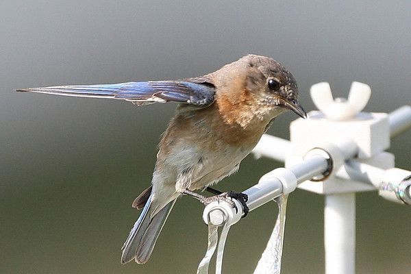 Eastern Bluebirds wing-waving