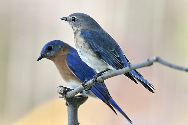 Male and female Bluebirds together
