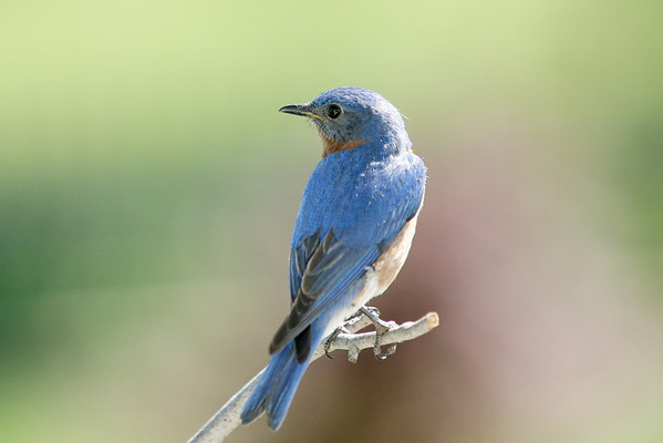 New male bluebird