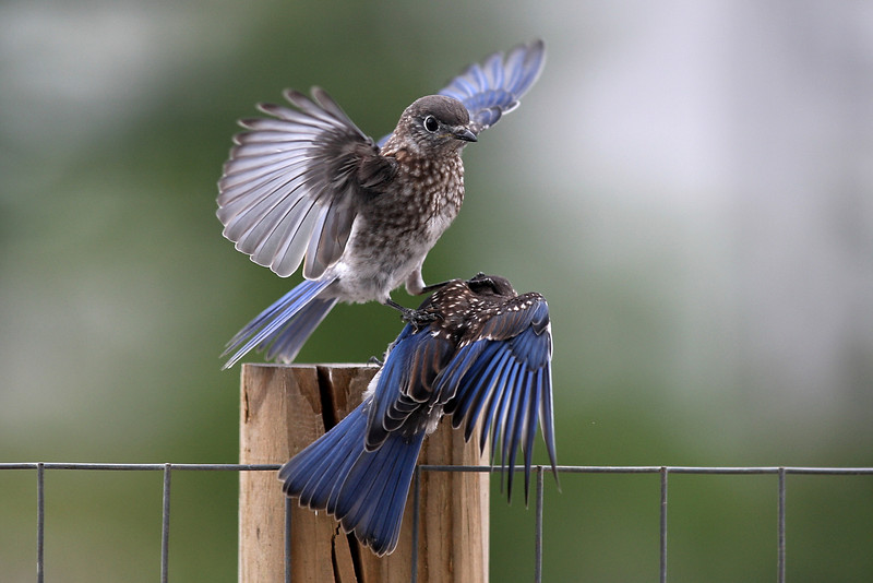 Fledgling lands on his brother.