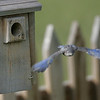 May 25 2006<br /> Sometimes the fledglings fly straight at you, and are quickly out of focus.