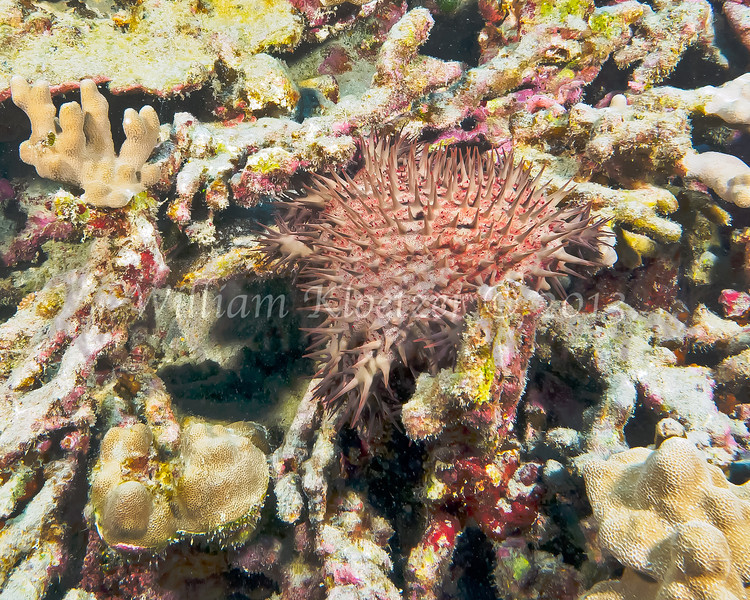Crown-of-Thorns (Acanthaster planci) phylum Echinodermata - class Asteroidea; Big Island, Hawaii
