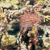 Crown-of-Thorns (Acanthaster planci) phylum Echinodermata - class Asteroidea; Big Island, Hawaii