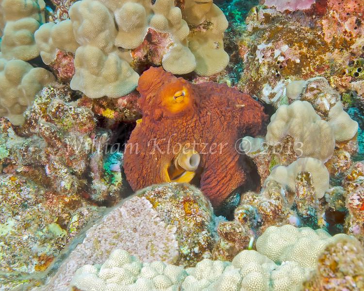 Day Octopus (Octopus cyanea) BIg Island, Hawaii
