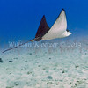 Spotted Eagle Ray (Aetobatus narinari) Big Island, Hawaii