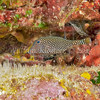 female Spotted Boxfish (Ostracion meleagris) Big Island, Hawaii