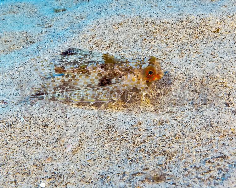 Helmut Gurnard (Dactyloptena orientalis) Big Island, Hawaii