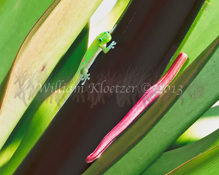 Day Gecko; Big Island, Hawaii