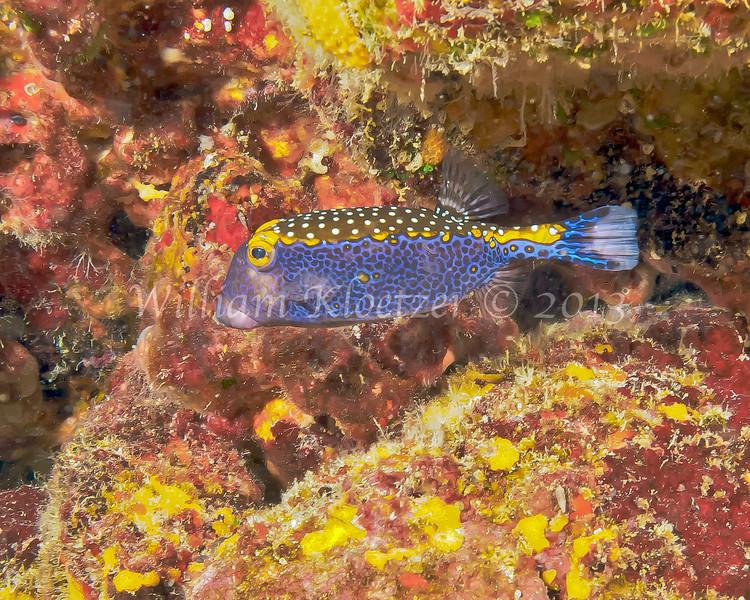 male Spotted Boxfish (Ostracion meleagris) Big Island, Hawaii