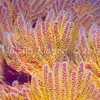 CA Golden Gorgonian Coral (Muricea californica)<br /> phylum Cnidaria - class Anthozoa<br /> Anacapa Island