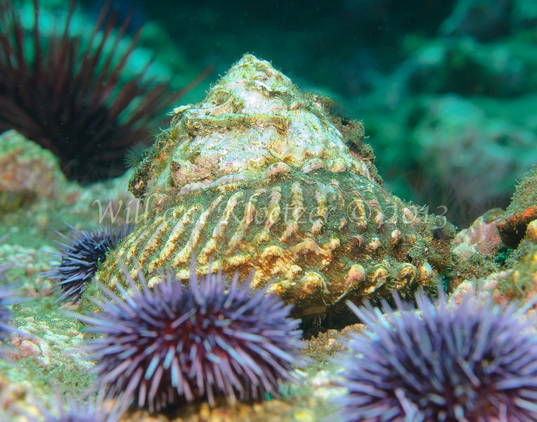 Wavy Turban Snail (Lithopoma undosum) phylum Mollusca - class Gastropoda - clade Vetigastropoda Anacapa Island