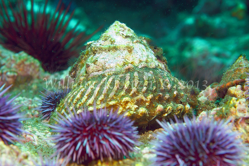 Wavy Turban Snail (Lithopoma undosum)<br /> phylum Mollusk - class Gastropod - (clade Prosobranch)<br /> Anacapa Island