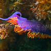 Spanish Shawl Nudibranch (Flabellina iodinea)<br /> phylum Mollusk - class Gastropod - (clade Opisthobranch) - order Nudibranch<br /> Anacapa Island