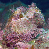 Red Turban Snail (Lithopoma gibberosum)<br /> phylum Mollusk - class Gastropod - (clade Prosobranch)<br /> Anacapa Island