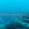 Salp (planktonic tunicate); phylum Chordata - subphylum Urochordata - class Thaliacea, Anacapa Island