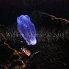 pelagic tunicate (Thetys vagina)<br /> phylum Chordate - subphylum Urochordate (tunicates)<br /> Anacapa Island