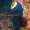 Giant Keyhole Limpet (Megathura crenulata)<br /> phylum Mollusk - class Gastropod - (clade Prosobranch)<br /> Anacapa Island