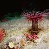 Tube-Dwelling Anemone (Pachycerianthus fimbriatus)<br /> phylum Cnidaria - class Anthozoa<br /> Anacapa Island