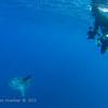 Ocean Sunfish:  offshore San Diego