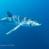Blue Shark (requiem shark):  offshore San Diego