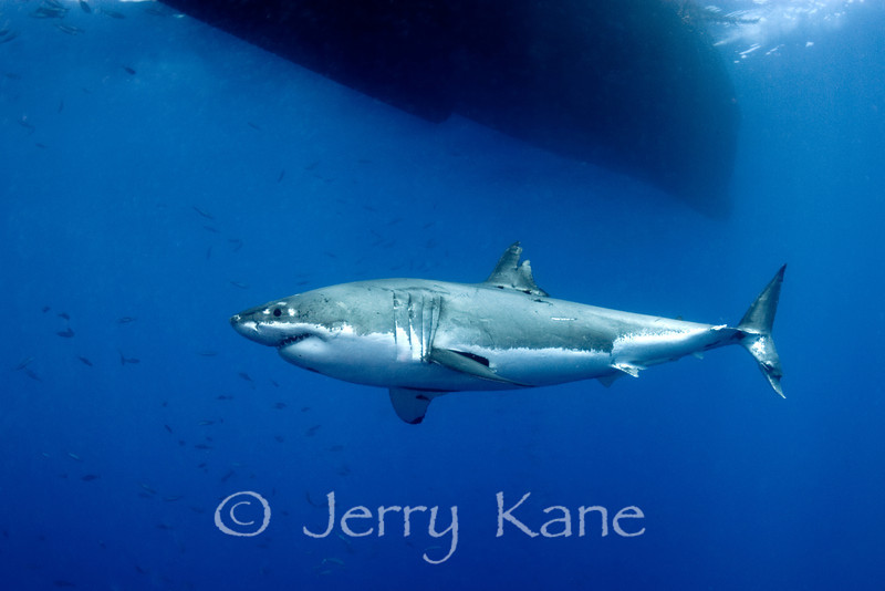 Great White Shark (Carcharodon carcharius) cruising beneath the bow of the boat - Guadalupe Island, Baja California, Mexico