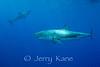 Great White Sharks (Carcharodon carcharius) - Guadalupe Island, Baja California, Mexico