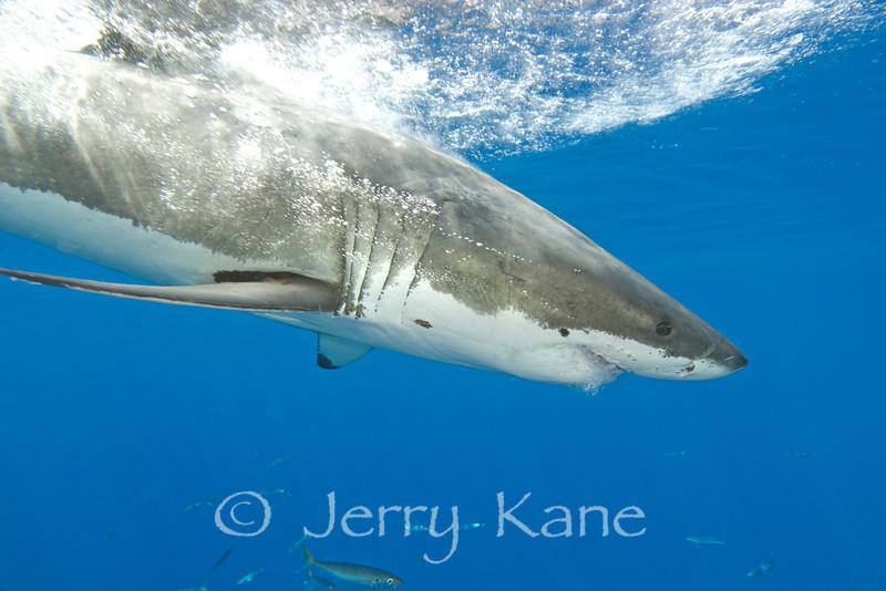 Great White Shark (Carcharodon carcharius) - Guadalupe Island, Baja California, Mexico